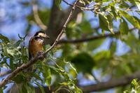 ミズキの実を食べに来たヤマガラ - あだっちゃんの花鳥風月