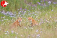 キタキツネ花畑牧場パート2 - イチガンの花道