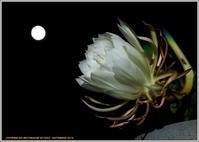 シリーズ家で咲く花(2019)-22月下美人また咲いた - 野鳥の素顔 <野鳥と日々の出来事>
