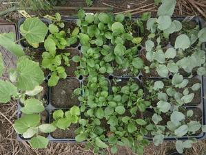 アブラナ科の苗の植え替えやトンネルネット - ブルーベリーの育て方& 栽培 ブルーベリー ノート BlueBerryNote