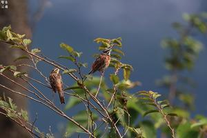皇鈴山の小鳥たち ホオジロの夫婦 - 野鳥公園