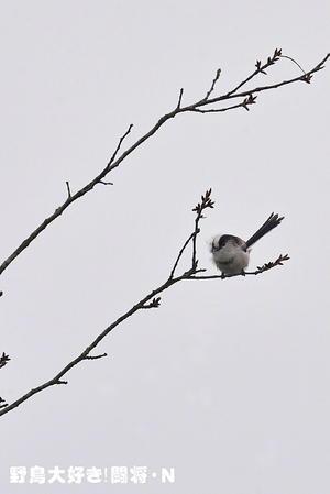エナガ - 野鳥大好き!闘将・N