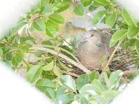 鳩が巣を作ってから - グリママの花日記