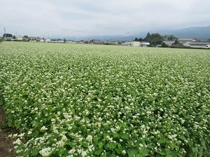 蕎麦の花、塩尻で撮った画像ですが・・・。 - リンドウの徒然日記Ⅱ