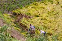 稲刈りと稲架作り@松之山 - デジカメ写真集