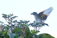 ミズキに群がるエゾビタキ - 新 鳥さんと遊ぼう