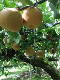 梨狩り - ササイな日々