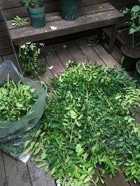 """『台風で、我が家の一坪庭の成長した""""シマトネリコ""""が折れるやも?のはなし・・』 - NabeQuest(nabe探求)"""