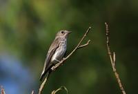 渡り途中のエゾビタキ - 『彩の国ピンボケ野鳥写真館』
