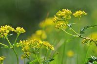 苗場山 夏の花(黄系) - 自然と仲良くなれたらいいな2