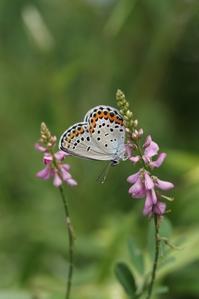 ミヤマシジミの交尾など - 蝶超天国