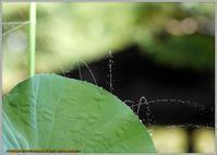 蓮の葉シャワー - 野鳥の素顔 <野鳥と日々の出来事>