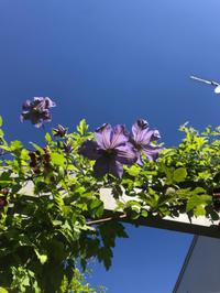 返り咲く青いクレマチス - Bleu Belle Fleur☆ブルーベルフルール