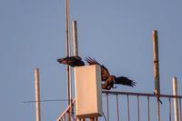 モンゴル探鳥旅行⑤(by うちの奥さん) - 週末バーダーのBirding記録