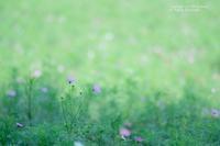 コスモス@昭和記念公園 - カメラをもってふらふらと