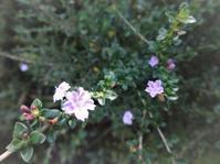 紫丁花 - だんご虫の花