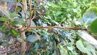 秋にもチャドクガ - うちの庭の備忘録 green's garden