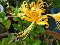 我が家の花リコリス咲く - 風の便り