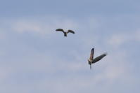 年間行事【ハチクマ・サシバ・ミサゴ】 - 鳥観日和