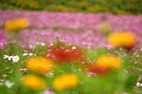 コスモス③ - Photo Of 北海道大陸