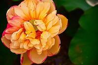季節外れの蓮の花 - 風の香に誘われて 風景のふぉと缶