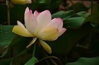 季節外れの蓮の花Ⅱ - 風の香に誘われて 風景のふぉと缶
