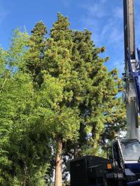 高木/芯止め・枝おろし - 三楽 3LUCK 造園設計・施工・管理 樹木樹勢診断・治療