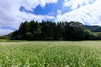 夏の花畑2019犬甘野のそば畑 - 花景色-K.W.C. PhotoBlog