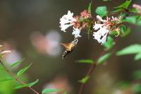 ホバリング自在ホシホウジャク(星蜂雀) - 身近な自然を撮る