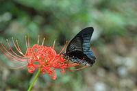 ナガサキアゲハ彼岸花の季節 - 蝶のいる風景blog
