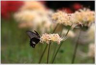 ナガサキアゲハと紅白彼岸花 - ハチミツの海を渡る風の音