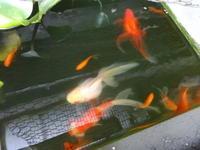 増えすぎる金魚 - だんご虫の花