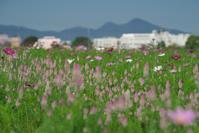藤原宮跡の旬ノゲイトウ - まほろば 庭いじり