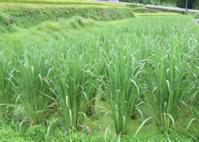 日本のためになることは「米を食べる」ことだった? - シリコンバレーから日本を想う