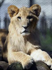 まもなく1歳3頭の子ライオン - 動物園放浪記