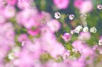 野沢温泉柄沢ゲレンデの畑でコスモス - 野沢温泉とその周辺いろいろ2