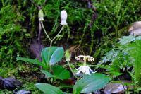 白いヤマホトトギス、軸の太いきのこなど - ぶらり散歩 ~四季折々フォト日記~