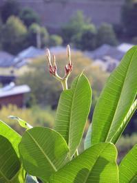 本日の花芽(プルメリア) - Aloha Kayo-s Style