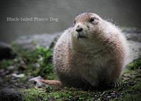 プレーリードッグ:Black-tailed Prairie Dog - 動物園の住人たち写真展(はなけもの写眞店)
