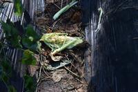 自然栽培トウモロコシの食べ跡花豆の幹伐り旭川市で初霜 - 自然栽培 釧路日記