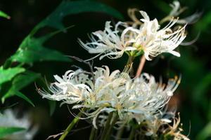 小石川植物園の彼岸花3 - 写真とパピオン大好き3