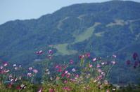コスモスのある風景 - きょうから あしたへ その2