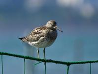 オバシギ、ハマシギ他@三番瀬海浜公園 - 青爺の野鳥日記