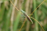クモヘリカメムシLeptocorisa chinensis - 写ればおっけー。コンデジで虫写真