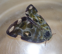 オオシラホシハゴロモ - ネギ坊主の断面