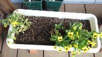 ビオラ、ピンチ - うちの庭の備忘録 green's garden