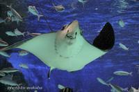 大水槽のスタ-はジンベイザメとエイの舞ですね(^^♪ - 自然のキャンバス