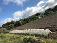 ニンニクを植える*ブドウの名産地 - my small garden~sugar plum~