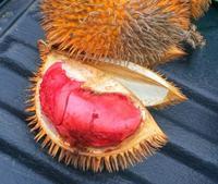 ボルネオ島の野生ドリアン - コタキナバル 旅行記・ブログ