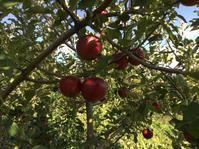 りんご紅玉の収穫時期が近い - 蔵カフェ飯島茶寮